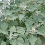 Are Weeds the New Health Plants?