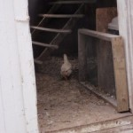 The Ugly Chicken-Story of an Outcast Chicken