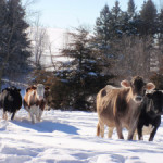 Cows go for a Walk in the Woods