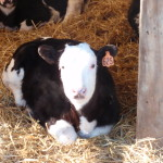 Wordless Wednesday: Warm Calves, Cold Days
