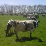 The Dairy Cows are on Pasture