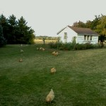 What do free range chickens do in the winter