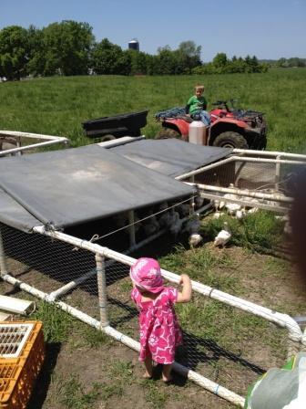 pasture poultry, chicken, organic, free range, mn, minnesota