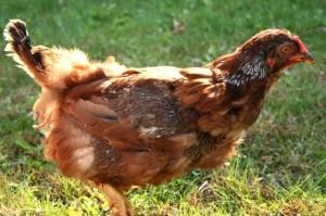 hen, eggs, molting, mn, minnesota, family farm, organic, free range