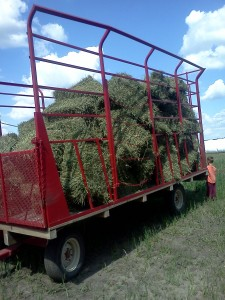 cow food, hay, alfalfa, organic, minnesota, minneapolis, family farm, local food