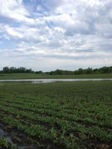 corn, flooded, minnesota, minneapolis, field, organic