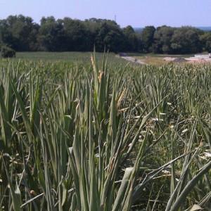 picture, corn, rain, field, farmer, 2012