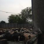 Why do farms smell