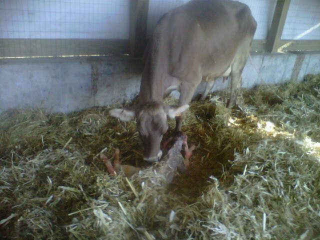 Brown Swiss baby calf