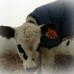 Cute Baby Dairy Calf Photo