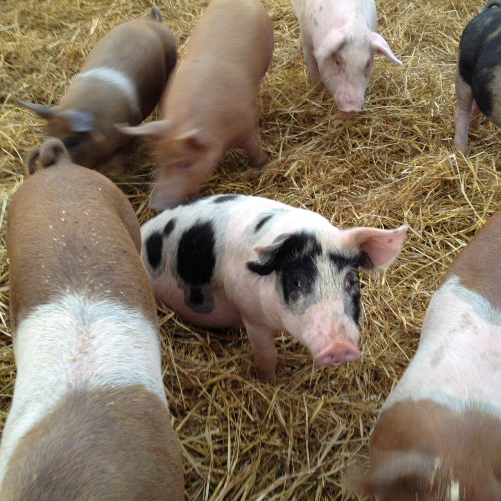 organic, pasture, pig, pork, family farm, food blog, pork for sale, minnesota, mn, local food