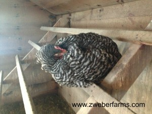 free range, organic, chicken, hen, eggs for sale, brown eggs, mn, minnesota, family farm, food blog