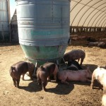 Pigs have arrived on Zweber Farms