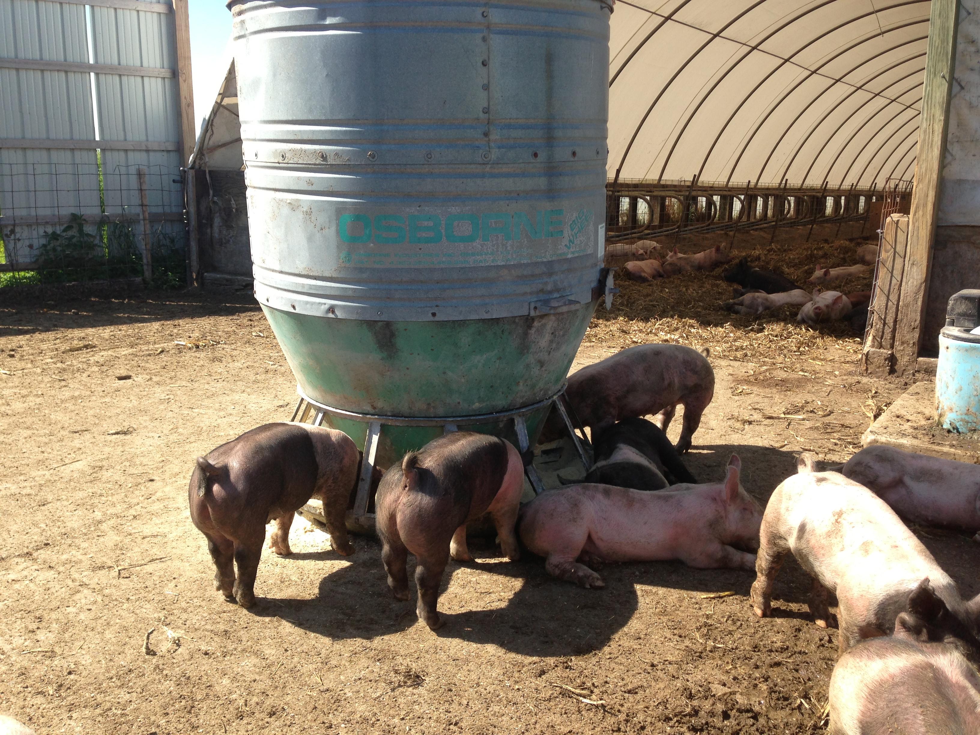pig forge tag elkhorn farm new shelter feeder