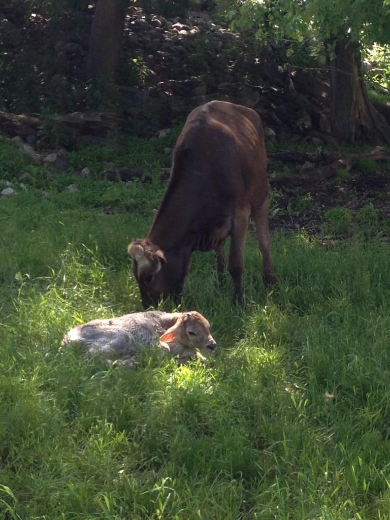 baby dairy calf via www.zweberfarms.com