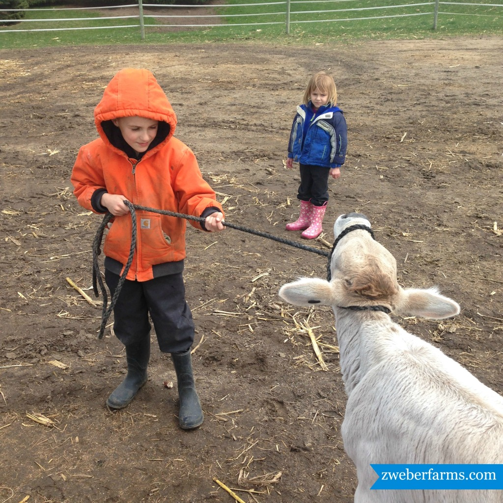 fair calves