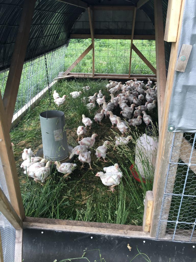 fresh pasture raised organic chickens, minesota, zweberfarms.com