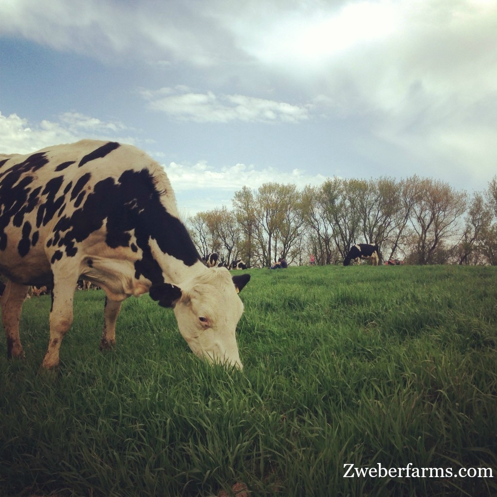 Organic, grass-fed cow at Zweber Farms