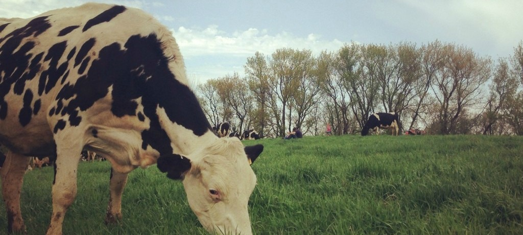 Raising Grassfed Dairy and Beef