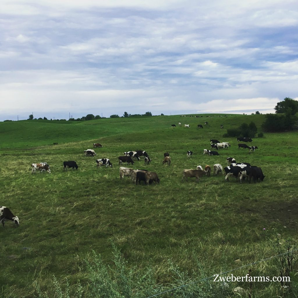 Organic, Grass fed cows on pasture. Zweber Farms, Elko, MN