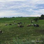 Grass Fed Beef in Minnesota