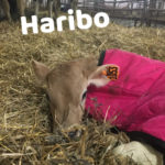 Meet Haribo , Our first heifer of the year!